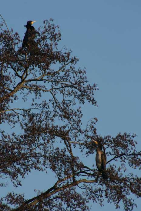 Kormorane bei Kamen am 25.01.2009 Foto: Gregor Zosel