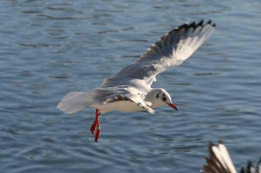 Lachmöwen, davon eine beringt, bei Wickede am 08.01.2009 Fotos: Gregor Zosel