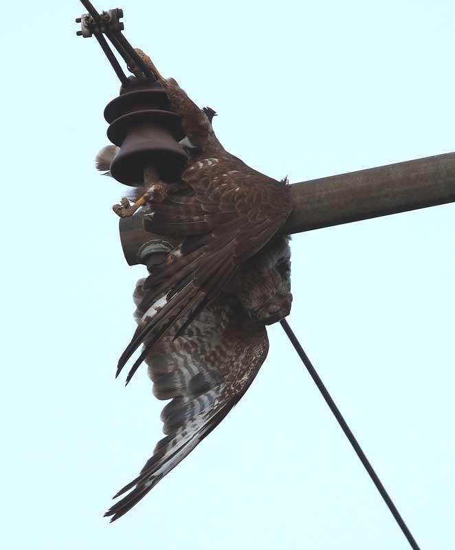 Diesj. Mäusebussard östlich Hemmerde-Dreihausen als Strom-Mast-Opfer am 25.08.08 Fotos: Bernhard Glüer