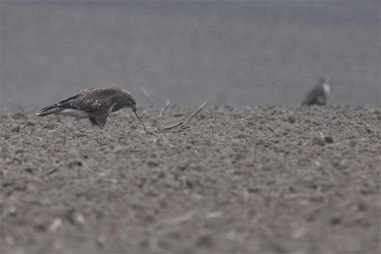 Mäusebussard beim Wurmen, Bergkamen am 26.10.08 Foto: Hermann Knüwer