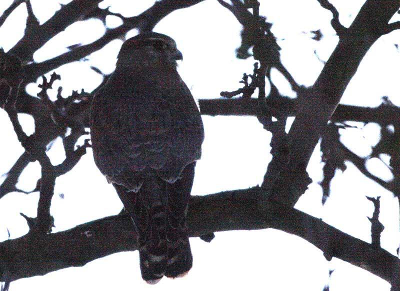 Merlin um 17. 15 Uhr in einem Schlafbaum neben einer stark befahrenen Landstraße südlich von Westtönnen / Kr. Soest - nur ca 30 m von einem weiteren Merlin entfernt. (10.01.09) Foto: Bernhard Glüer