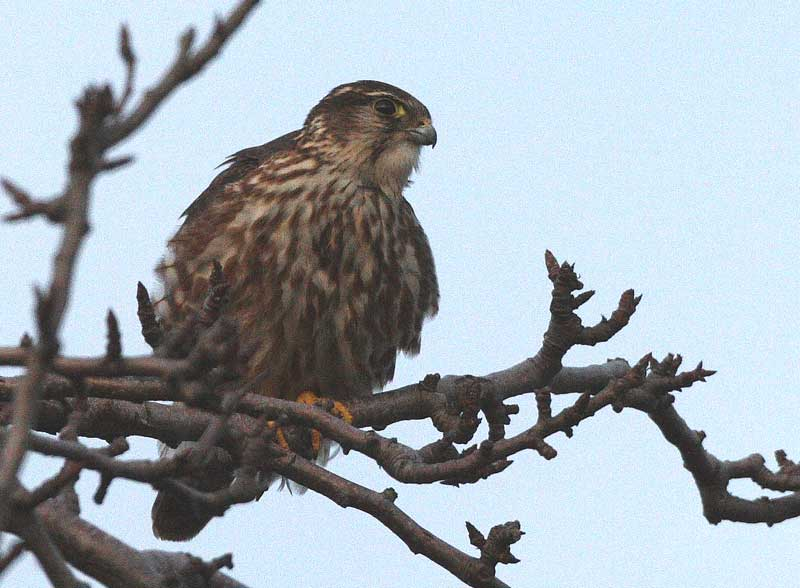 Auffällig entspannter Merlin offenbar nach erfolgreicher Jagd südlich von Werl am 13.01.09 Fotos: Bernhard Glüer