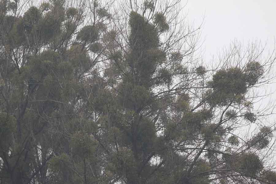 Mistelbäume bei Bönen-Flierich inzwischen ohne Misteldrosseln, 22.02.09