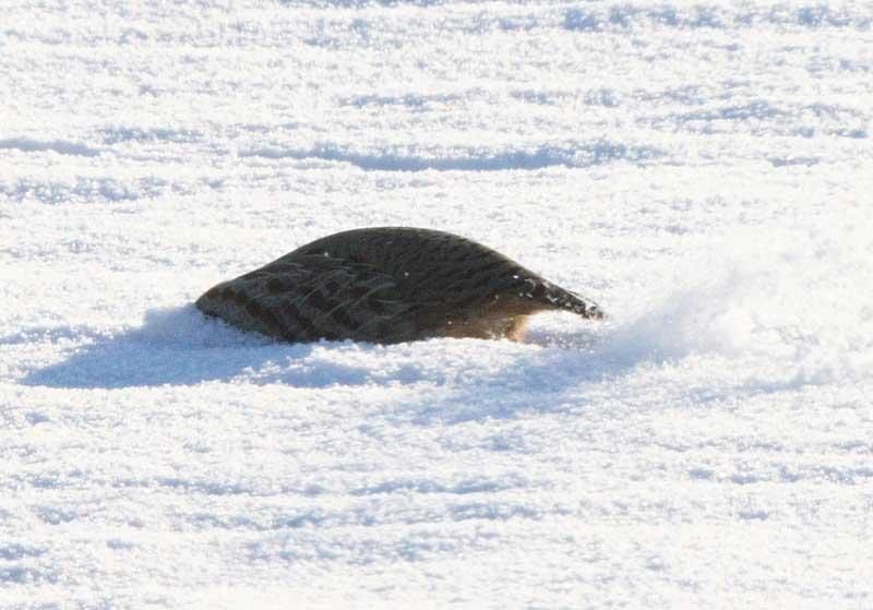 Im Schnee abtauchend Rebühner am 10.01.09 Fotos: Bernhard Glüer