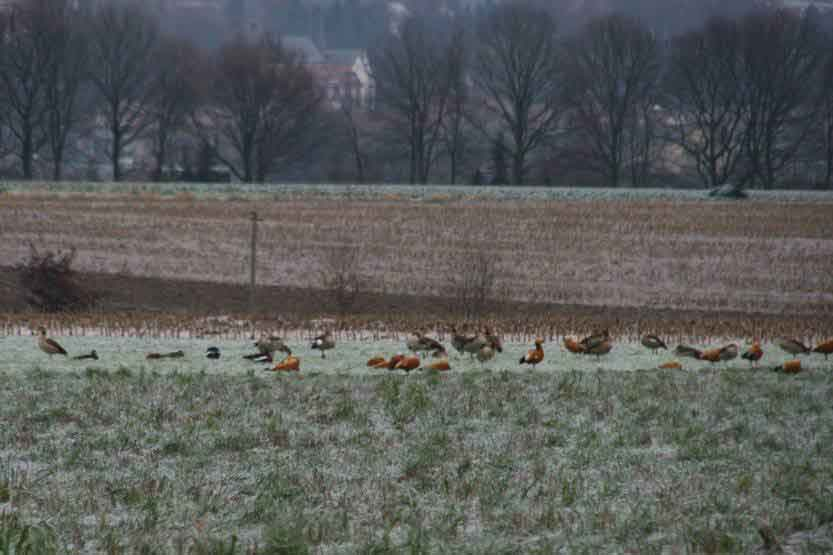Rost- und Nilgänse im Osterfeld zwischen Halingen und Bösperde, 13.12.08 Foto: Gregor Zosel