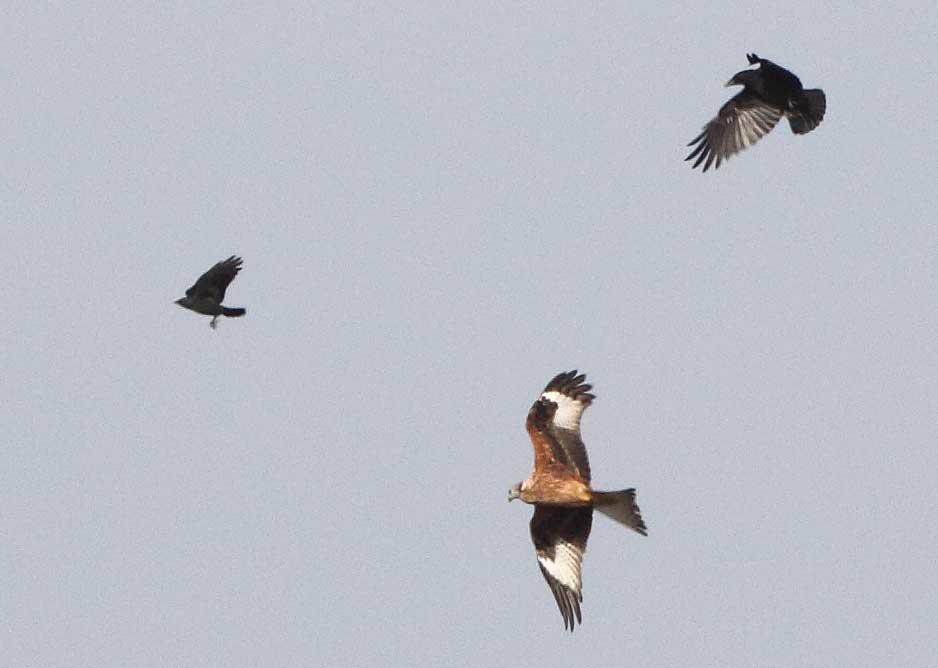 Krähe mit Dohle bedrängen einen Milan mit Beute, 21.09.09 Foto: Bernhard Glüer