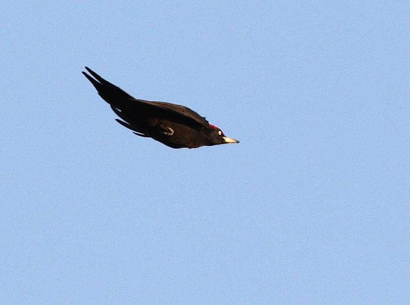Schwarzspecht überfliegt auf dem Weg zu seiner Schlafhöhle eine Freifläche, 29.01.09 Foto: Bernhard Glüer