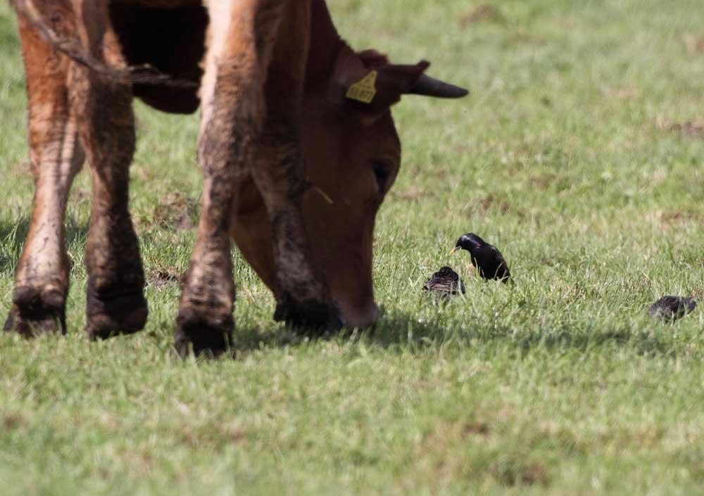 Stare folgen weidenden Rindern bei der Futtersuche, 07.05.09 Foto: Bernhard Glüer
