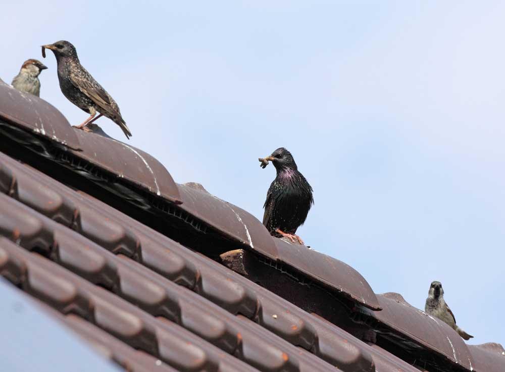 Stare und Haussperlinge in der Nähe ihrer Nester, 07.05.09 Foto: Bernhard Glüer