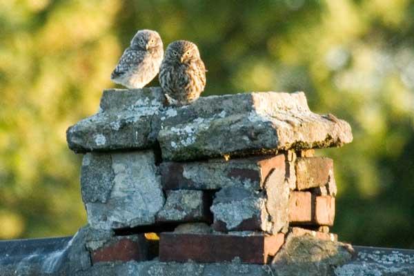 Steinkauz und Jungvogel bei Unna am 21.06.2009 Foto: Michael Freese
