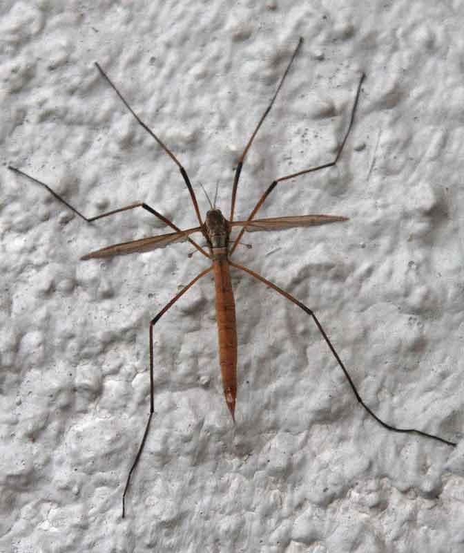 Wiesenschnake (Tipula paludosa)??? in Frdbg.-Hohenheide am 18.08.08 Foto: Bernhard Glüer