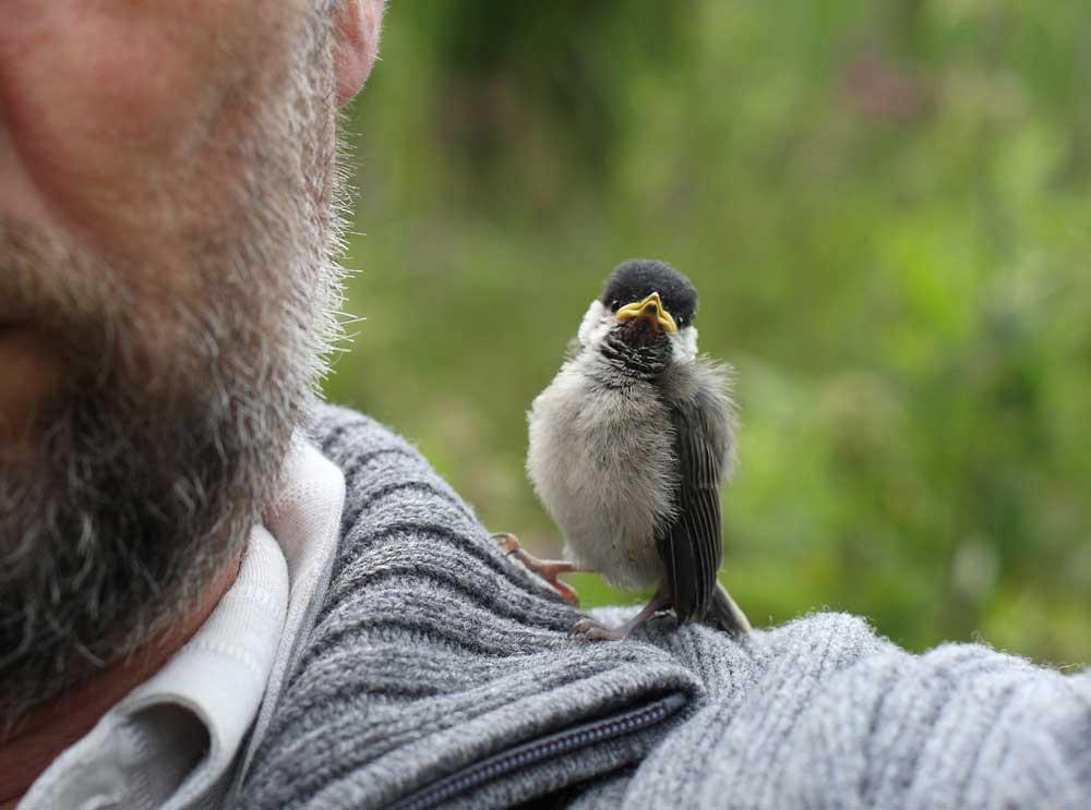 Frage: wie macht ein Vogel einen Vogelfotografen `zum Affen´? - Antwort: indem er sich einfach auf ihn drauf setzt! (Das Foto wurde mit lang ausgestrecktem Arm trotzdem möglich, da neben dem Tele noch ein Zweitgehäuse mit 50mm Brennweite `am Mann´war), 09.07.09 Foto: Bernhard Glüer